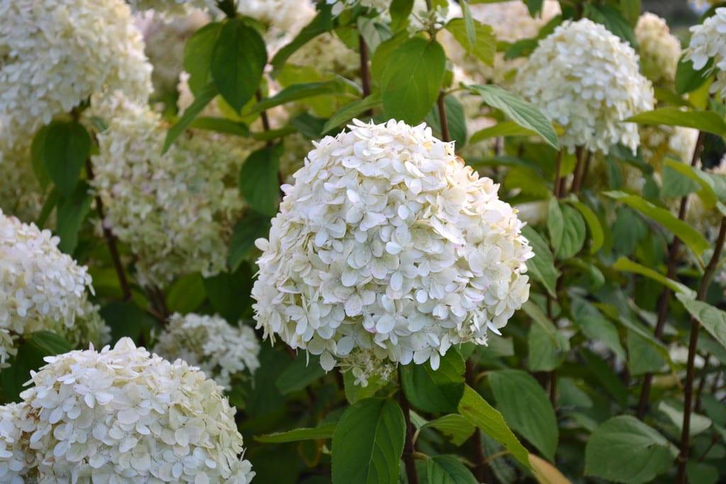 Storblomstrende hortensia