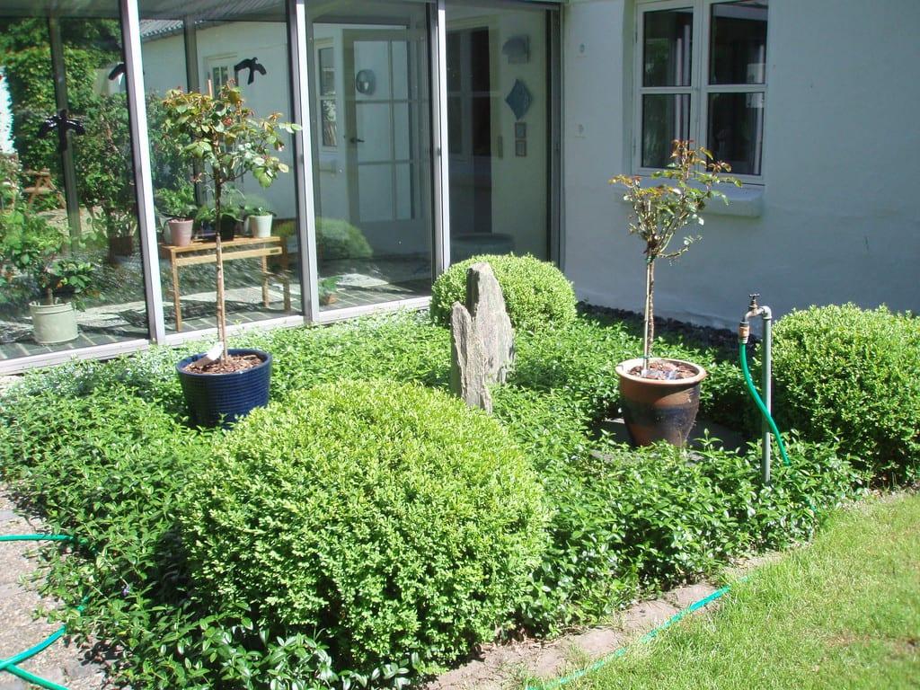 Kugle buksbom og vintergrøn